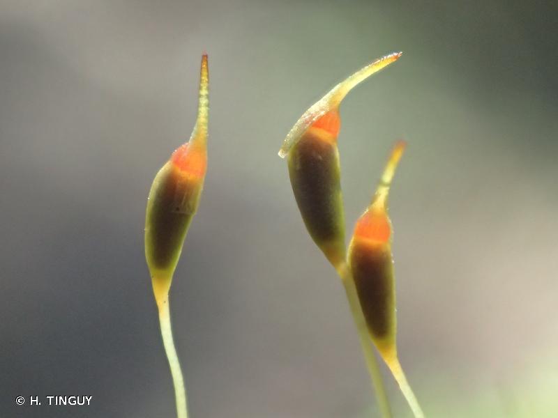 Dicranella heteromalla