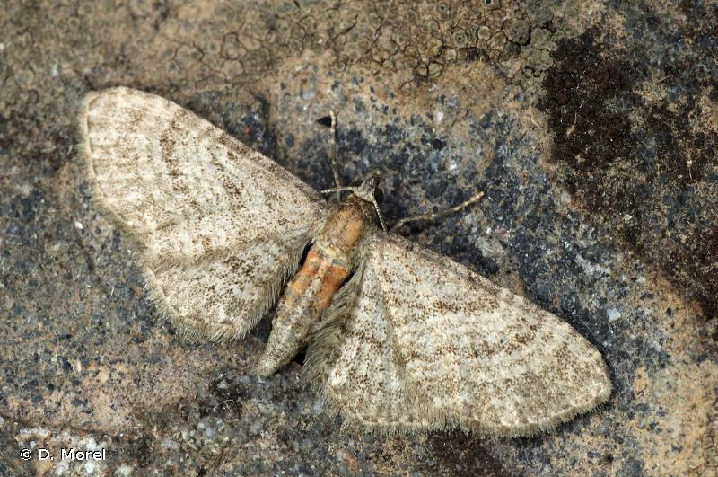 Eupithecia haworthiata