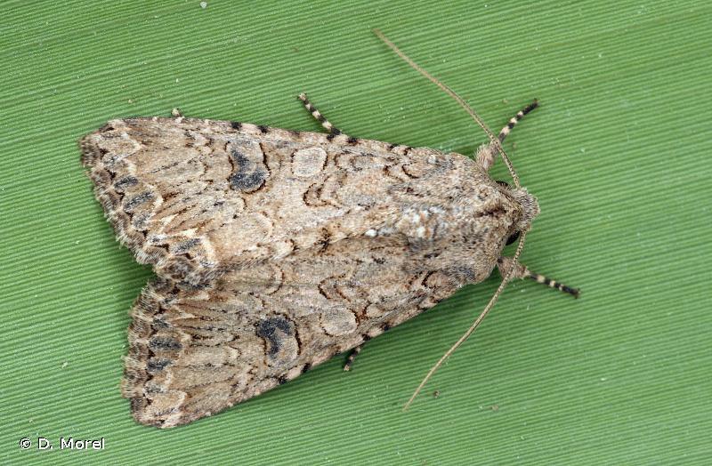 Hadula trifolii