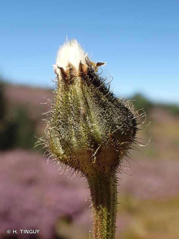 Crepis conyzifolia