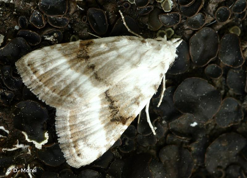 Meganola albula