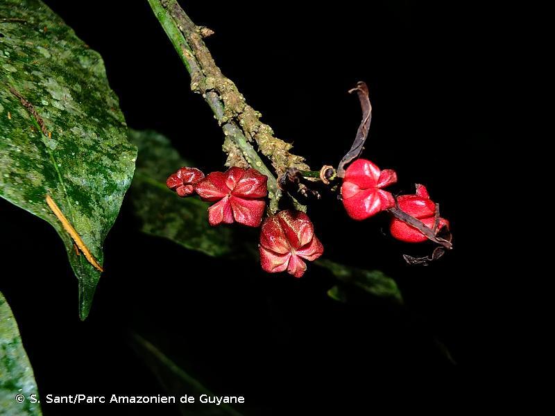 Erythrochiton brasiliensis