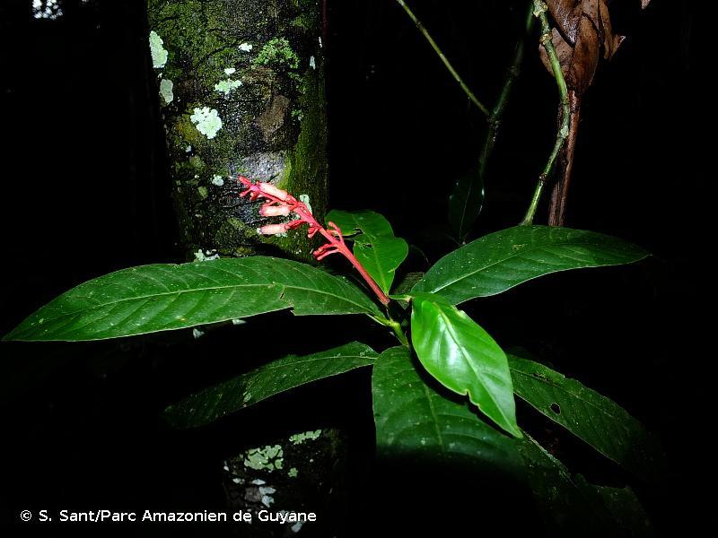 Palicourea calophylla