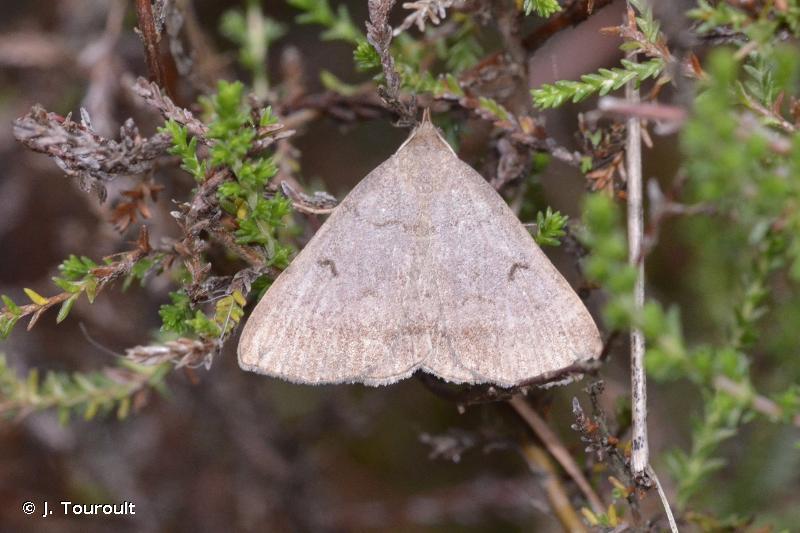 Zanclognatha lunalis