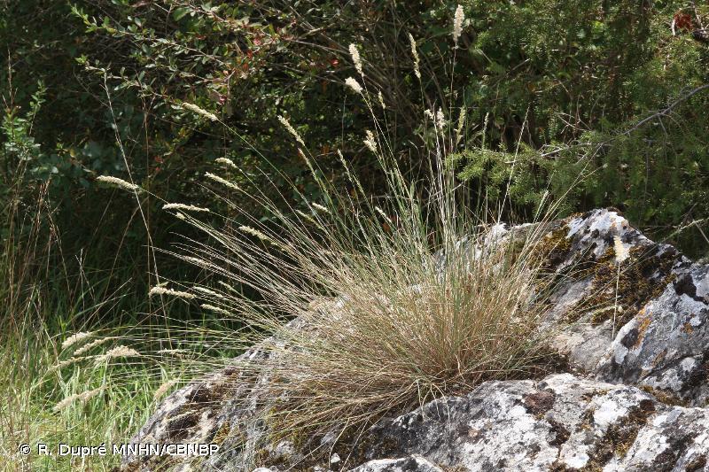 Melica ciliata subsp. ciliata