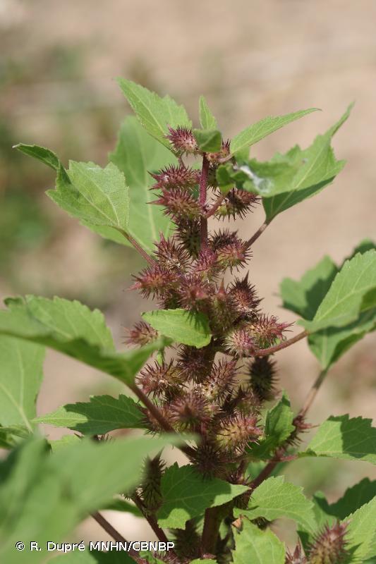 Xanthium orientale subsp. italicum