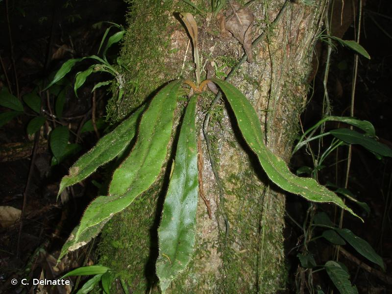 Elaphoglossum raywaense
