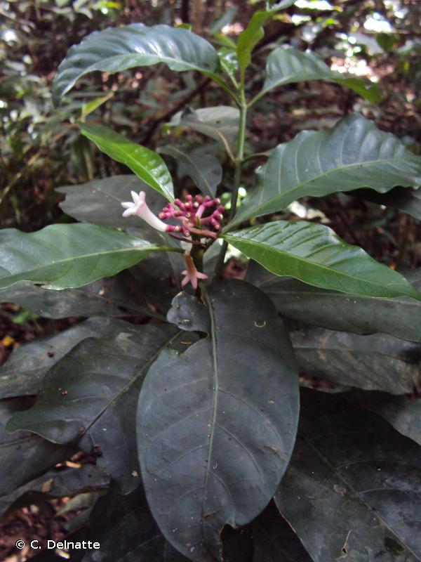 Chassalia comorensis