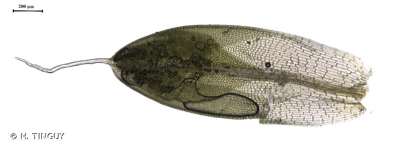Pterygoneurum ovatum