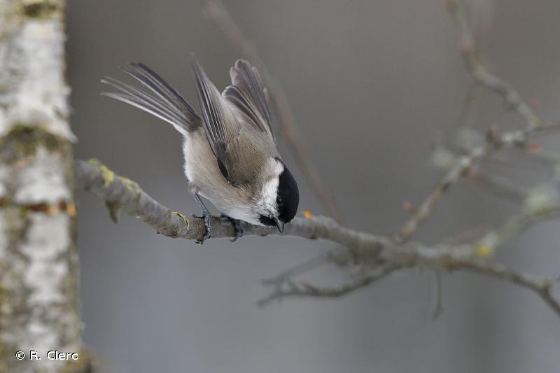 Poecile palustris