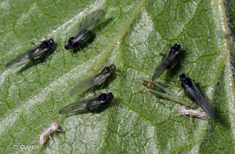 Aphis grossulariae