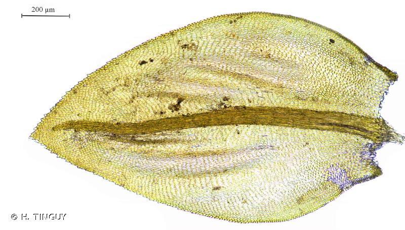 Scorpiurium deflexifolium