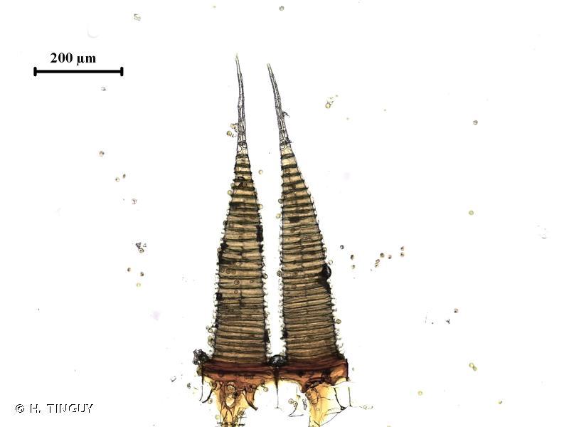 Ptychostomum creberrimum