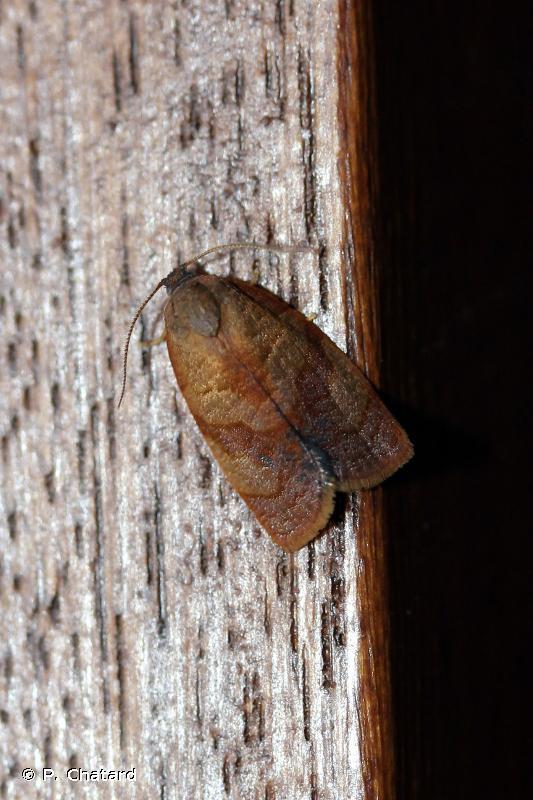 Cacoecimorpha pronubana
