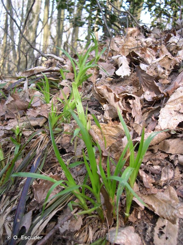 Luzula sylvatica subsp. sylvatica