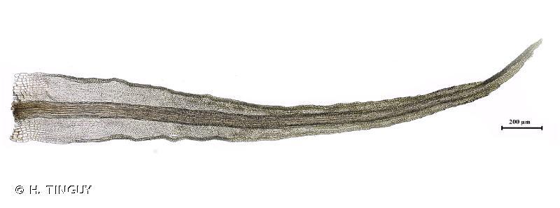 Cynodontium bruntonii