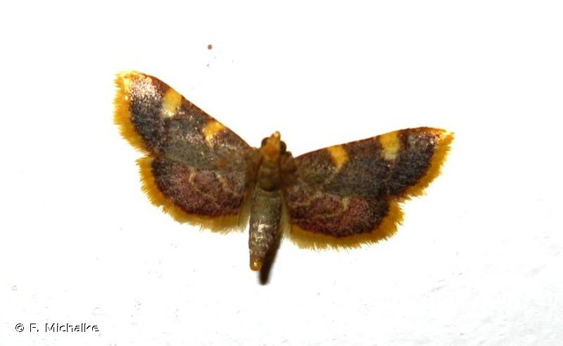 Hypsopygia costalis