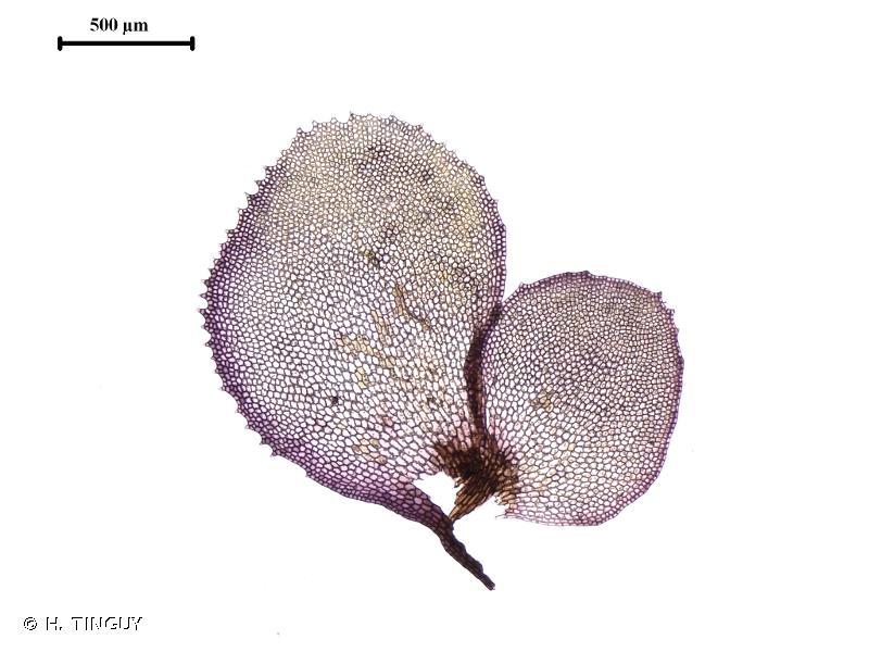 Scapania undulata