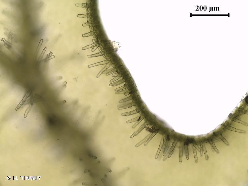 Metzgeria conjugata