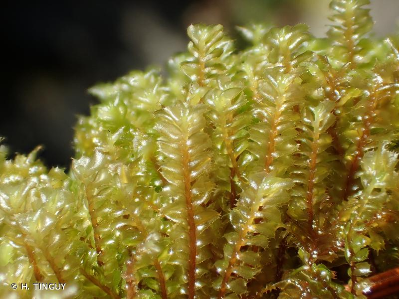 Plagiochila spinulosa