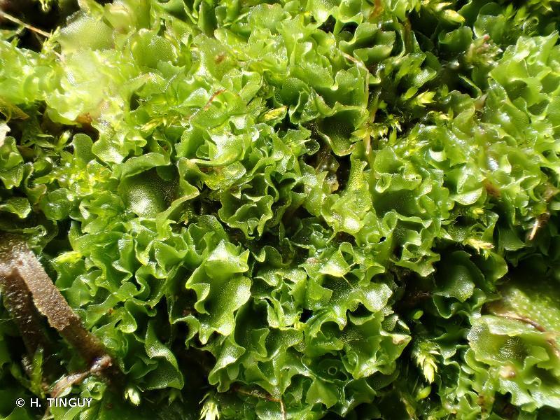 Fossombronia angulosa