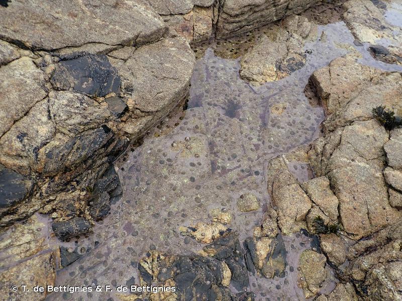 A1.411 - Cuvettes médiolittorales peu profondes dominées par des encroûtements de corallinales - EUNIS