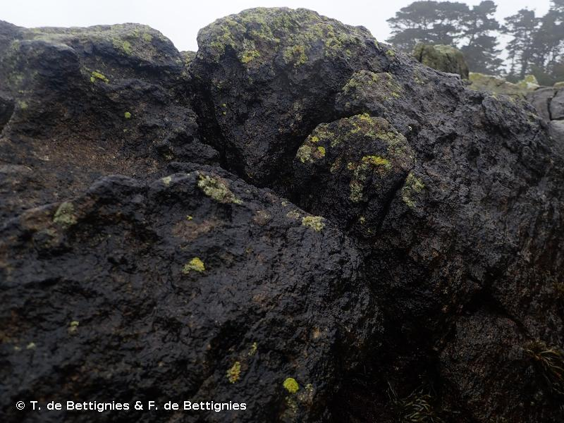 B3.113 - <em>Hydropunctaria maura</em> (anciennement <em>Verrucaria maura</em>) de la frange littorale - EUNIS