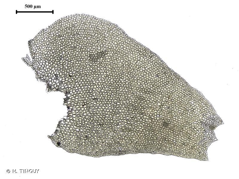 Bazzania trilobata