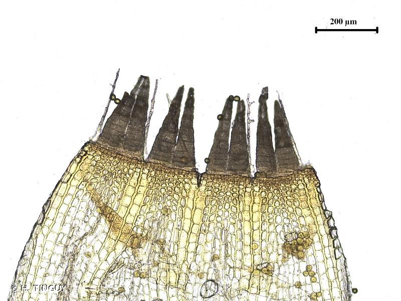 Orthotrichum scanicum