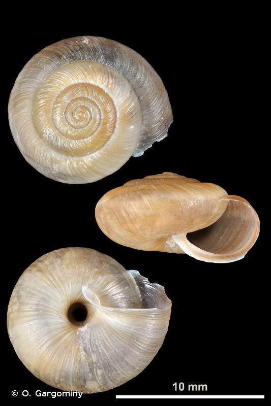 Trochulus striolatus