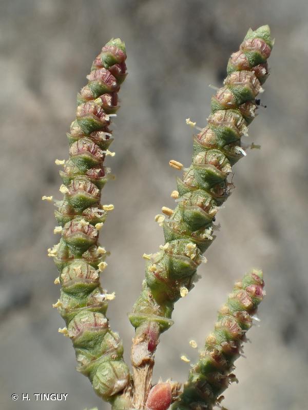 Salicornia perennis