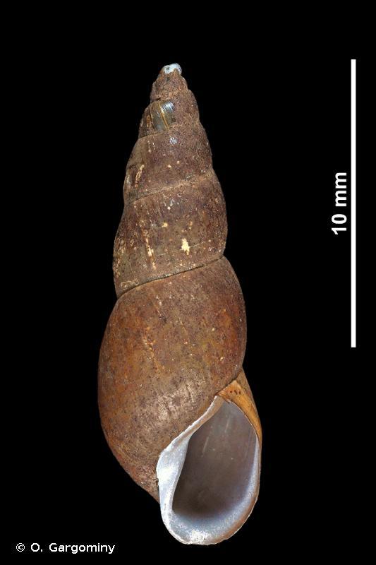 Omphiscola glabra