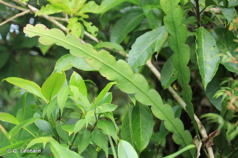 Epiphyllum phyllanthus