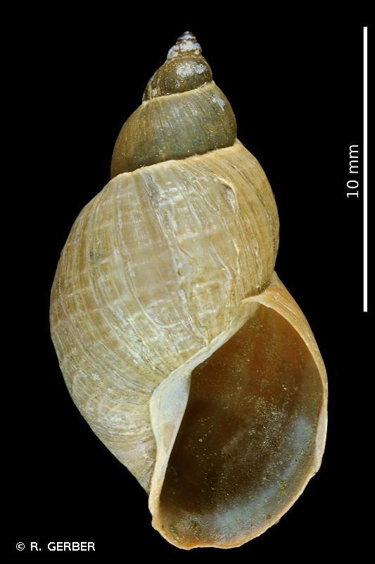 Stagnicola palustris