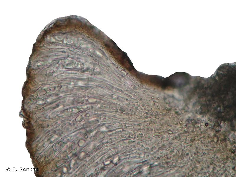 Trapelia coarctata