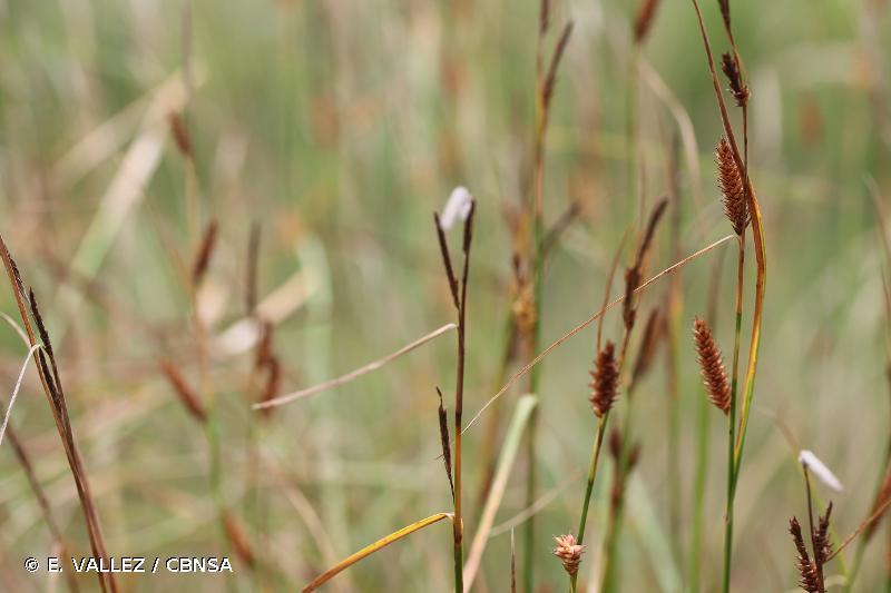 Carex binervis
