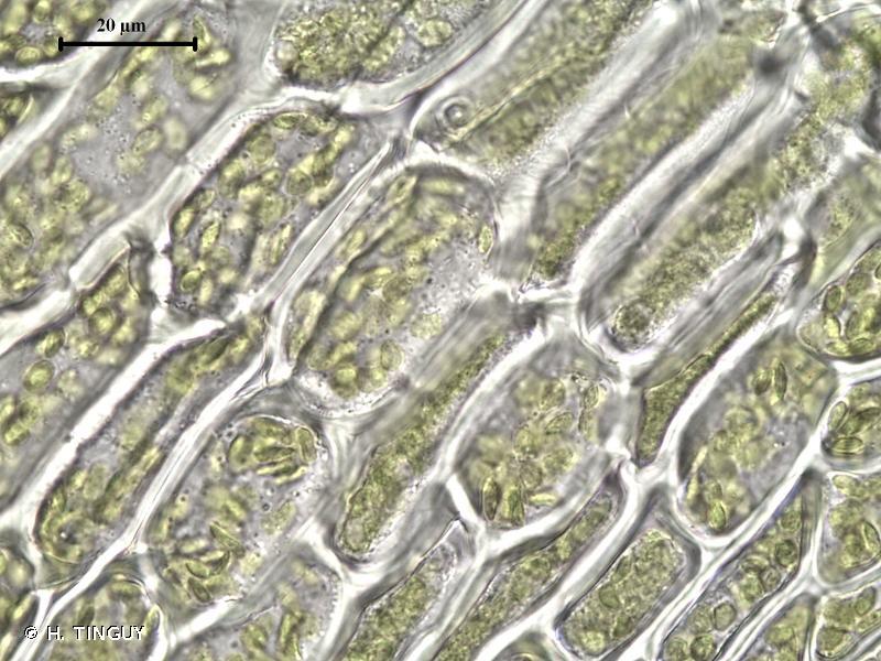 Oxyrrhynchium speciosum