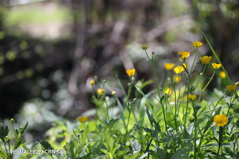 Ranunculus serpens
