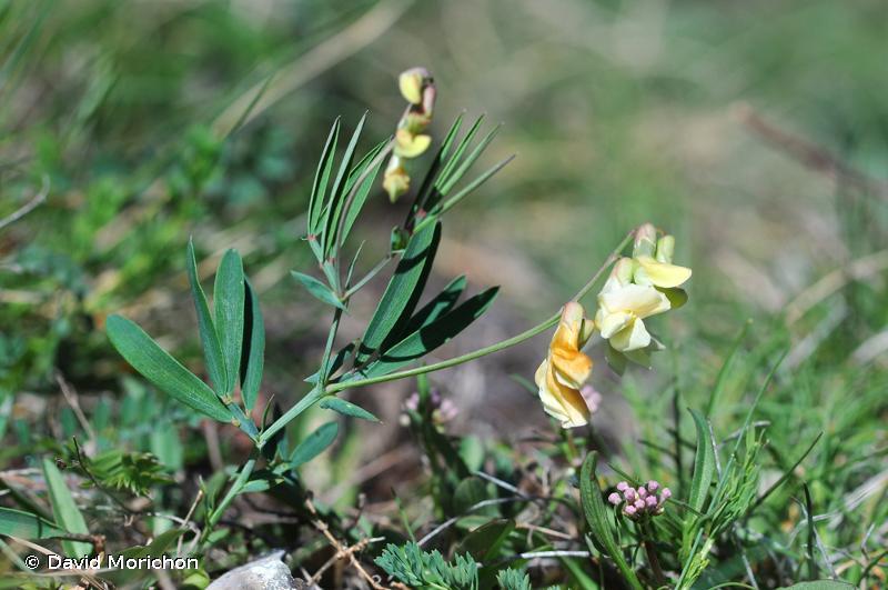 Lathyrus pannonicus