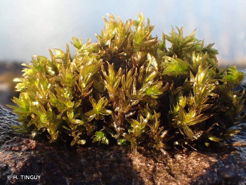 Cinclidotus fontinaloides