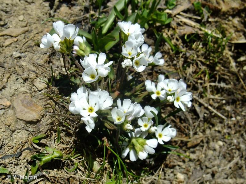Androsace adfinis subsp. brigantiaca