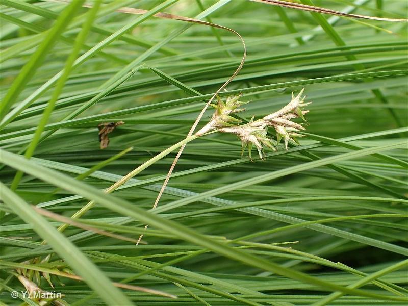 Carex brizoides