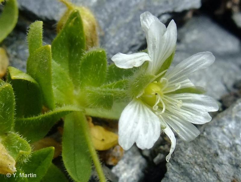 Cerastium pedunculatum