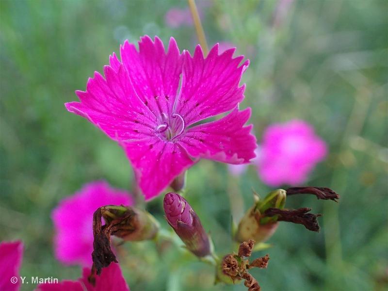 Dianthus seguieri subsp. pseudocollinus