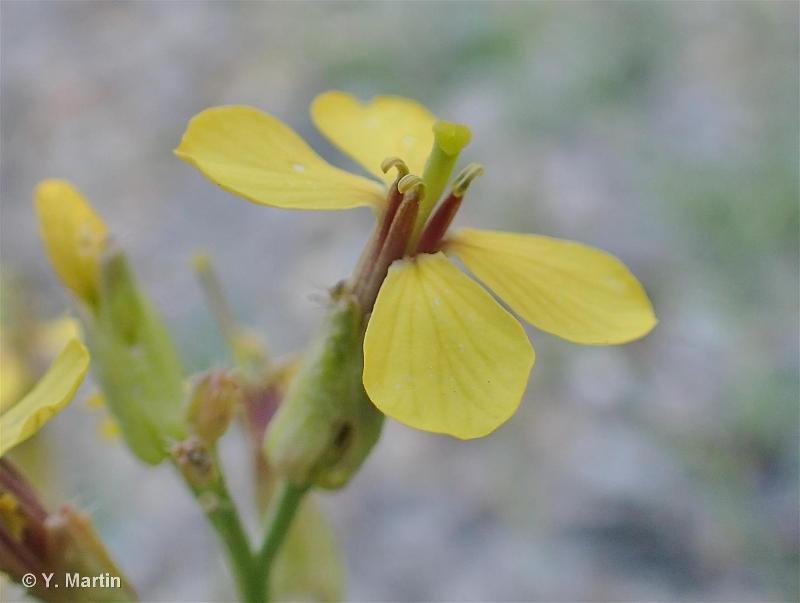 Coincya monensis subsp. cheiranthos