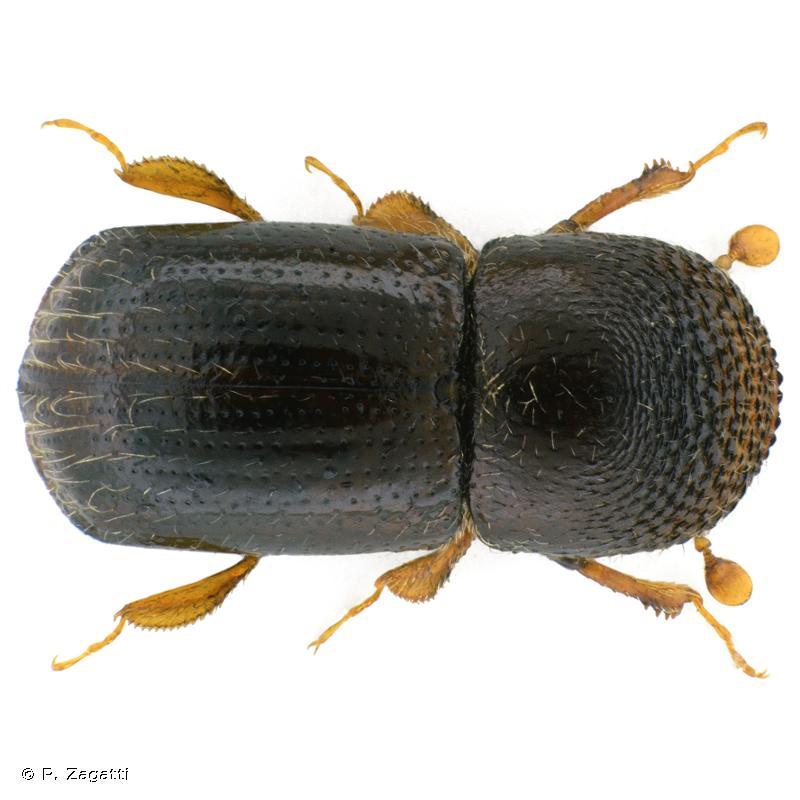 Xylosandrus germanus