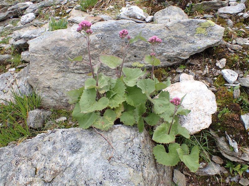 Adenostyles leucophylla