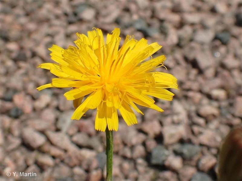 Scorzoneroides autumnalis