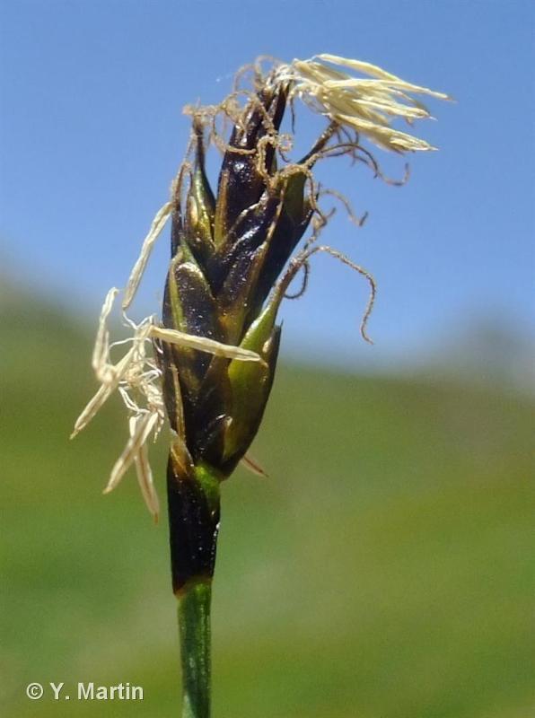 Carex curvula