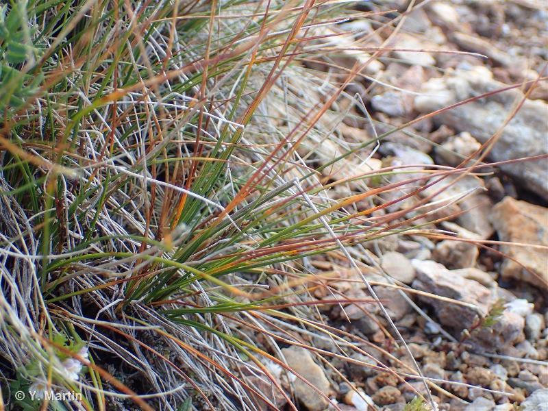 Carex myosuroides